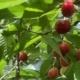 Les cerises du Toubkal
